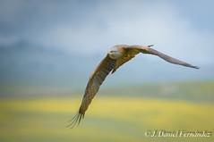 Colors (Dani (Atrus)) Tags: milanonegro milvusmilvus blackkite jdanielfernández elrincóndelosprotegidos españa spain aves birds naturaleza fauna nikon