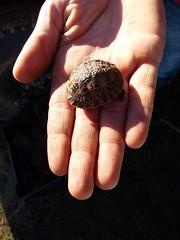baby leopard tortoise at Bartholomeus Klip, Western Cape