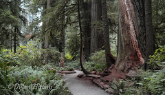 Civilization (dylanawol66) Tags: northamerica california lostcoast redwoods forest tree path trail green color texture landscape