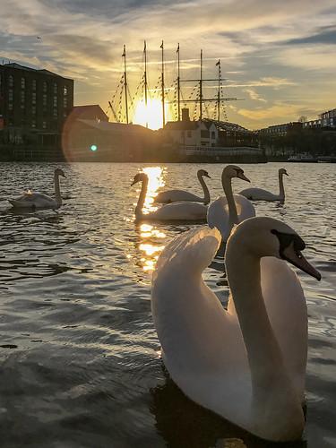 Bristol swans