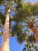 Palm trees (markshephard800) Tags: trees palm palms canarias canaries blue green light shade sunlight shadows
