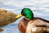 (Vitatrix) Tags: erpel ente tier vogel wasser flus stein natur badenwürttemberg bird oiseau neckar