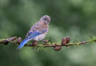 Eastern Bluebird juvi.