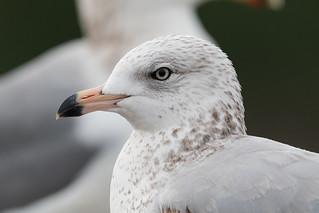 seagull close-up