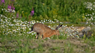 - Catch me if you can!!! � European hare.
