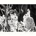 (rscholle) Tags: wildrabbit bw sw animals
