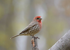 House Finch (av8s) Tags: housefinch finch birds perchingbirds songbirds nature wildlife pennsylvania pa photography nikon d7100 sigma 120400mm