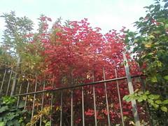 1049 (en-ri) Tags: albero tree foglie rosso sony sonysti