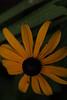 jdy191bpleplBgr4EgrBloRbgbYardEloXX20120709a0426.jpg (rachelgreenbelt) Tags: ghigreenbelthomesinc usa subfamilyasteroideae supertribehelianthodae northamerica asteridsclade ouryard americas orderasterales eudicots greenbelt colorswhiteyellowgreen midatlanticregion familyasteraceae coloryellow maryland rudbeckia campanulidsclade magnoliophyta asterfamily asteraceae asteraceaefamily asterales asteralesorder asterids asteroideae asteroideaesubfamily asters blackeyedsusan compositaefamily compositefamily daisyfamily floweringplants heliantheae heliantheaetribe helianthodae helianthodaesupertribe rudbeckiagenus spermatophytes sunflowerfamily tribeheliantheae