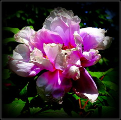 Remembering Its Best Days (dimaruss34) Tags: newyork brooklyn dmitriyfomenko image flower peony