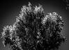530nm 50mm foliage (fe2cruz) Tags: 530nm infrared filter α7r a7r alpha nikon seriese 50mm f18 5018 niftyfifty fifty white bw monochrome blackwhite black blackandwhite 7dwf thursdays flora sundaylights ir