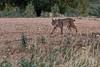 Iberian Lynx #explored (fascinationwildlife) Tags: animal mammal wild wildlife winter nature natur national park spain spanien europe iberian lynx pardus luchs cat feline elusive endangered species sierra morena andujar pardelllluchs morning encounter
