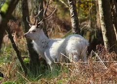 White Sika Deer - Cervus nippon - Arne RSPB Dorset -020417 (1) (ailognom2005) Tags: sikadeer whitesikadeer cervusnippon arnerspbdorset arnerspbreserve rspb dorset dorsetwildlife mammals stag wood