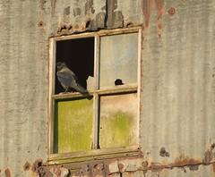Outlook (Tony Tooth) Tags: nikon d7100 sigma 50500mm bird jackdaw window derelict mill leek staffs staffordshire