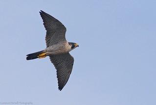 Peregrine Falcon (Explored 2/8/18)
