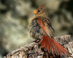 Shake my TailFeather (Robert Streithorst) Tags: bird cardinal cincinnatizoo robertstreithorst zoosofnorthamerica