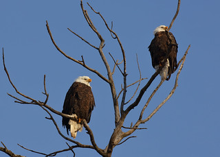 Bald Eagles in town_186