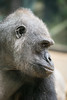 2018-02-16-13h37m32.BL7R9561 (A.J. Haverkamp) Tags: canonef100400mmf4556lisiiusmlens shindy amsterdam noordholland netherlands zoo dierentuin httpwwwartisnl artis thenetherlands gorilla sindy pobrotterdamthenetherlands dob03061985 nl
