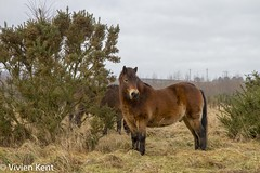 Exmoor ponies on Daisy Hill (tau247) Tags: countydurham england exmoorpony animal brown conservationgrazing eating grass grazing horse landmanagement mammal native rarebreed winter