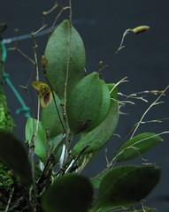 Pabstiella bradei affinis JUQ/SP (Micro-orquídeas Roberto Martins) Tags: pabstiella bradei affinis juqsp epifitas micro microorquídeas mini orquídeas exposição orquidáceas galeria robertomicroorquideas robertoorquideas robertomicros permuta venda de coleção