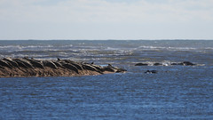 M2174296 E-M1ii 300mm iso200 f4 1_5000s SingleAF (Mel Stephens) Tags: 20180217 201802 2018 q1 16x9 wide widescreen uk scotland aberdeenshire olympus mzuiko mft microfourthirds m43 300mm pro omd em1ii ii mirrorless newburgh river ythan beach animal animals nature wildlife seal seals coast coastal sea ocean
