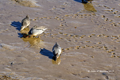 Sloppy (Estuary at low tide) (wildcatlou) Tags: nisquallynationalwildliferefuge latewinter nature wildlife birds water estuary lowtide ducks teal greenwingteal mud reflections tracks