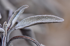 Sage after Winter (thatSandygirl) Tags: sage salviaofficinalis gardensage herb edible food garden plant leaf texture macro grey green outdoor foliage
