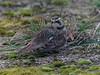 Horned Lark (AndydS6) Tags: staines london hornedlark