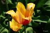 Una fusione d'intensità, luce ed armonia... (hmeyvalian) Tags: tulip tulipano tulipe liliaceae jardinbotanique montréal québeccanada plantae angiosperms tulipa tracheobionta liliopsida