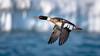 Red-breasted Merganser (Mergus serrator) (ER Post) Tags: bird duck merganser redbreastedmergansermergusserrator holland michigan unitedstates us