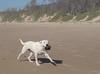 good catch (Wanda Amos@Old Bar) Tags: oldbar wandaamos ball beach dog fauna fetch sand 7dwf