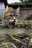 Auf der Pirsch (Kay Wahdan) Tags: animal animalia auge castroprauxel cat closeup domestic eye fauna garden garten haustierenutztiere ickern kater katze mopsi mutti natur nature nordrheinwestfalen ruhrvalley ruhrgebiet tier wow