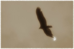 IMG_0206 (giltay) Tags: diana diana38mmsuperwide blackandwhite blackwhite sepia bird vulture moon moody turkeyvulture cathartesaura