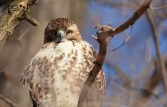 Red-tailed Hawk  - The Stare Down (JDA-Wildlife) Tags: birds birdsofprey raptors hawks hawkredtailed redtailedhawk nikon nikond7100 tamronsp150600mmf563divc jdawildlife johnny portrait closeup eyecontact whatbirdeyecontact wow brilliant