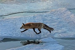The Hunter (marylee.agnew) Tags: cold ice hunter vulpes fox red winter lake water canine wildlife natue harsh danger breakable