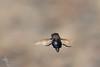 Fly in flight (VS Images) Tags: flies fly insectsinflight flight insects insect insecta australia nsw nature ngc naturephotography wildlife wildlifephotography australianwildlife australianinsects vsimages vassmilevski olympus olympusau getolympus m43