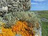Ramalina curnowii with Xanthoria ectanioides (Philip_Goddard) Tags: ramalina curnowii cuspidata xanthoria lichens fruticose fertile coastal cornwall sky orange southwestengland england unitedkingdom britain british britishisles greatbritain uk europe
