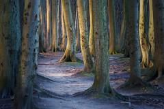 Waldweg (Petra Runge) Tags: germany deutschland wald baum buchen weg natur landschaft stoltera warnemünde landscape nature woodland beeches tree