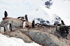 Brown_2017 12 11_2783 (HBarrison) Tags: harveybarrison hbarrison antarctica antarcticpeninsula paradiseharbor brownstation gentoopenguin taxonomy:binomial=pygoscelispapua arctic antarctic arcticantarctic
