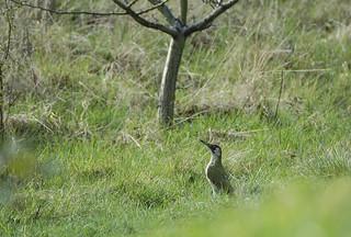 green woodpecker 2006 04 2nd Barnes WWT (111)