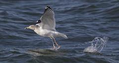 Herring Gull take-off...6O3A7216CR2A (dklaughman) Tags: herring gull