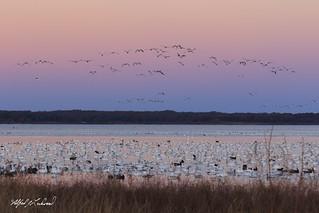 Snow Geese At Dawn_20A1936