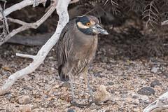 Lava Heron 500_3748.jpg (Mobile Lynn) Tags: herons lavaheron wild birds nature bird butoridessundevalli ciconiiformes coast fauna galapagosheron marsh wading wildlife wetland baltra galapagosislands ecuador ec