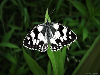 Butterfly 1601