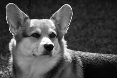 Corgi (mellting) Tags: ekängensip eskilstuna nikond500 platser promenadetuna bloggad flickr hundar instagram matsellting mellting nikon sigma70300456 sverige sweden corgi dog monochrome blackandwhite bnw