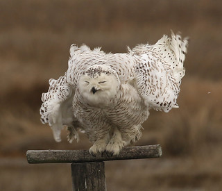 Snowy Owl shaking out the feathers.