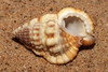 Triton snail (Gyrineum concinnum) under side (shadowshador) Tags: triton snail gyrineum concinnum neomura eukaryota opisthokonta holozoa filozoa animalia lophotrochozoa mollusca conchifera gastropoda gastropod gastropods orthogastropoda orthogastropod orthogastropods littorinimorpha tonnoidea ranellidae ranellinae conchology malacology invertebrate invertebrates taxonomy scientific classification biology sea snails shell shells sand sandy beach wildlife life redsea jeddah makkah saudiarabia saudi arabia
