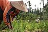 Happy_Lady Farmer_DSC_8435 (PRADEEP RAJA K- https://www.pradeeprajaphotos.com/) Tags: asia southeastasia indonesia people women job field light travel places smiling smile expression face green sky hat cap work working farmer trees sunlight portrait environmental environmentalportrait