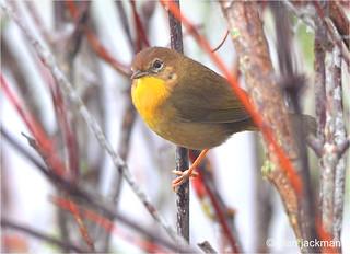 Yellowthroat Warbler, Birds of the Circle B Bar Reserve