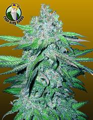 Train-Wreck (Watcher1999) Tags: medicalcannabis cannabis autoflower marijuana ganja smoking weed hemp medical